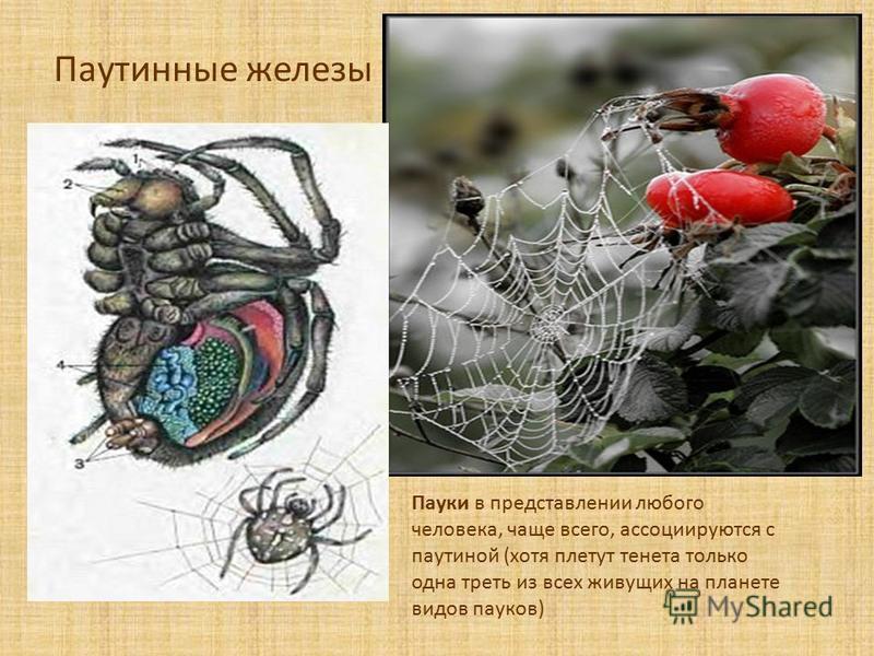 Паутинные железы Пауки в представлении любого человека, чаще всего, ассоциируются с паутиной (хотя плетут тенета только одна треть из всех живущих на планете видов пауков)