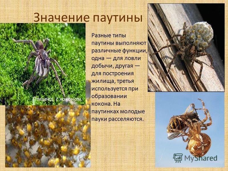 Значение паутины Птицеед с коконом. Разные типы паутины выполняют различные функции, одна для ловли добычи, другая для построения жилища, третья используется при образовании кокона. На паутинках молодые пауки расселяются.