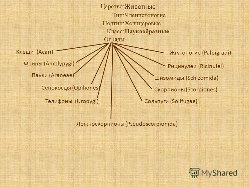 Царство: Животные Тип:Членистоногие Подтип:Хелицеровые Класс:Паукообразные Отряды Клещи (Acari) Фрины (Amblypygi) Пауки (Araneae) Сенокосцы (Opiliones) Жгутоногие (Palpigradi) Ложноскорпионы (Pseudoscorpionida) Рицинулеи (Ricinulei) Шизомиды (Schizom