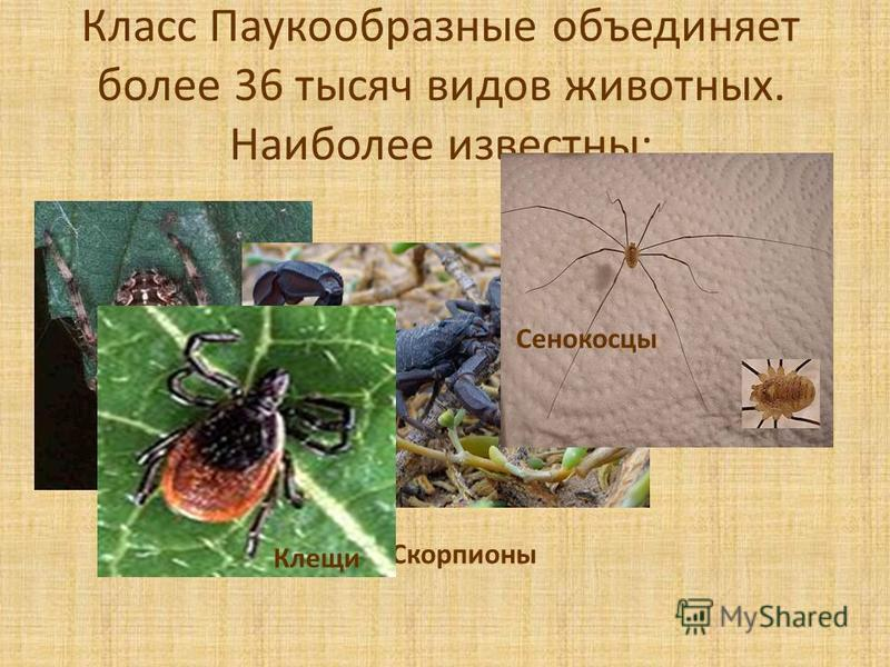 Класс Паукообразные объединяет более 36 тысяч видов животных. Наиболее известны: Пауки Скорпионы Сенокосцы Клещи