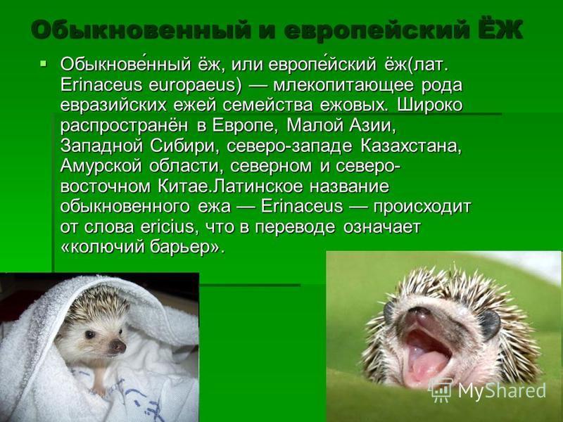 Обыкновенный и европейский ЁЖ Обыкнове́нный ёж, или европе́йский ёж(лат. Erinaceus europaeus) млекопитающее рода евразийских ежей семейства ежовых. Широко распространён в Европе, Малой Азии, Западной Сибири, северо-западе Казахстана, Амурской области