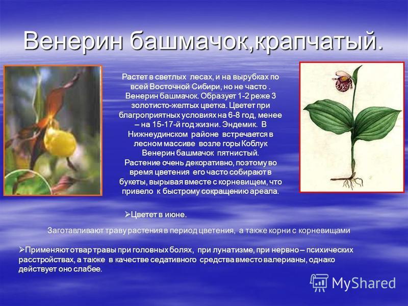 Венерин башмачок,крапчатый. Растет в светлых лесах, и на вырубках по всей Восточной Сибири, но не часто. Венерин башмачок. Образует 1-2 реже 3 золотисто-желтых цветка. Цветет при благоприятных условиях на 6-8 год, менее – на 15-17-й год жизни. Эндеми