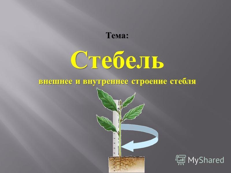 Тема : Стебель внешнее и внутреннее строение стебля Тема : Стебель внешнее и внутреннее строение стебля