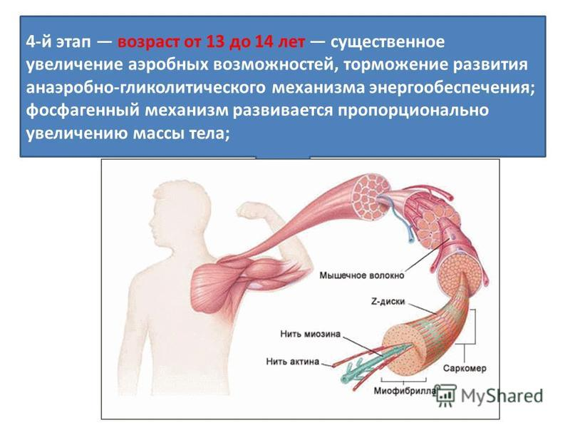 4-й этап возраст от 13 до 14 лет существенное увеличение аэробных возможностей, торможение развития анаэробно-гликолитического механизма энергообеспечения; фосфагенный механизм развивается пропорционально увеличению массы тела;