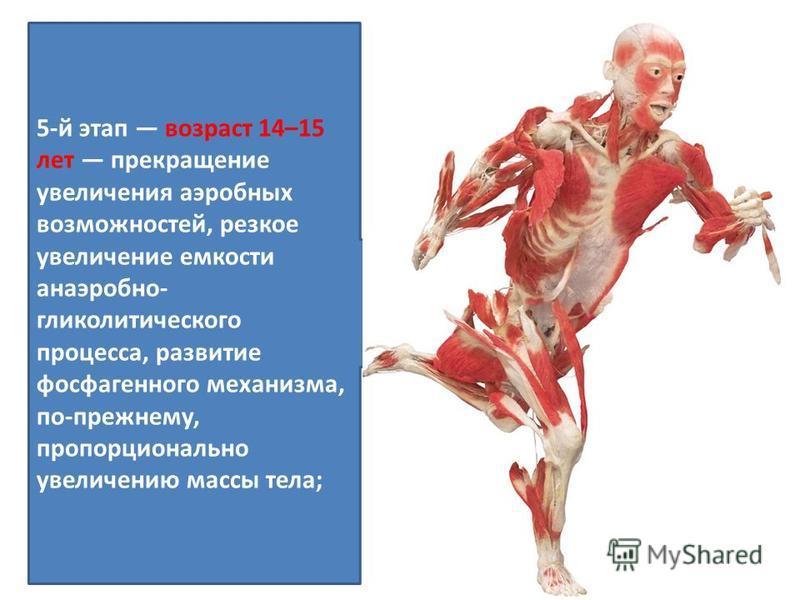 5-й этап возраст 14–15 лет прекращение увеличения аэробных возможностей, резкое увеличение емкости анаэробно- гликолитического процесса, развитие фосфагенного механизма, по-прежнему, пропорционально увеличению массы тела;