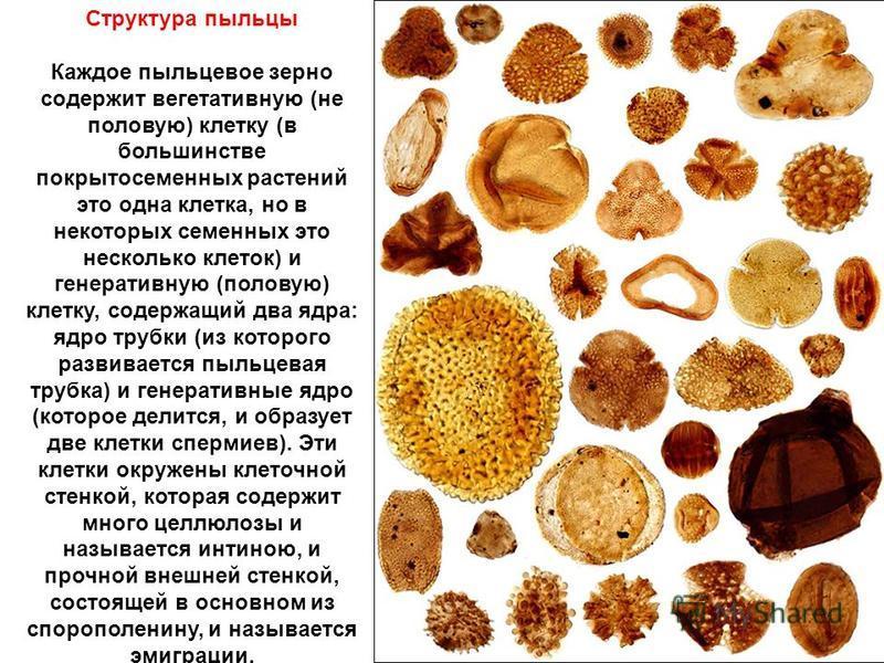 Структура пыльцы Каждое пыльцевое зерно содержит вегетативную (не половую) клетку (в большинстве покрытосеменных растений это одна клетка, но в некоторых семенных это несколько клеток) и генеративную (половую) клетку, содержащий два ядра: ядро трубки