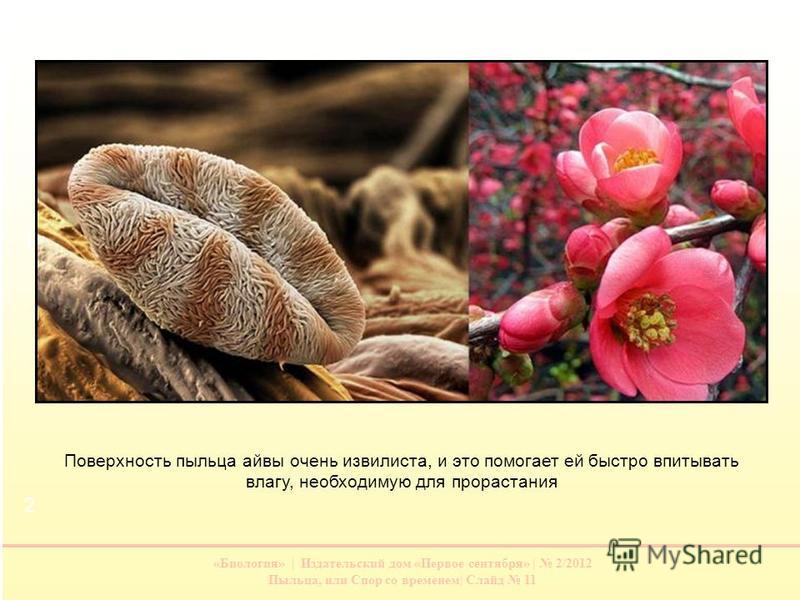 «Биология» | Издательский дом «Первое сентября» | 2/2012 Пыльца, или Спор со временем| Слайд 11 Поверхность пыльца айвы очень извилиста, и это помогает ей быстро впитывать влагу, необходимую для прорастания 1 2