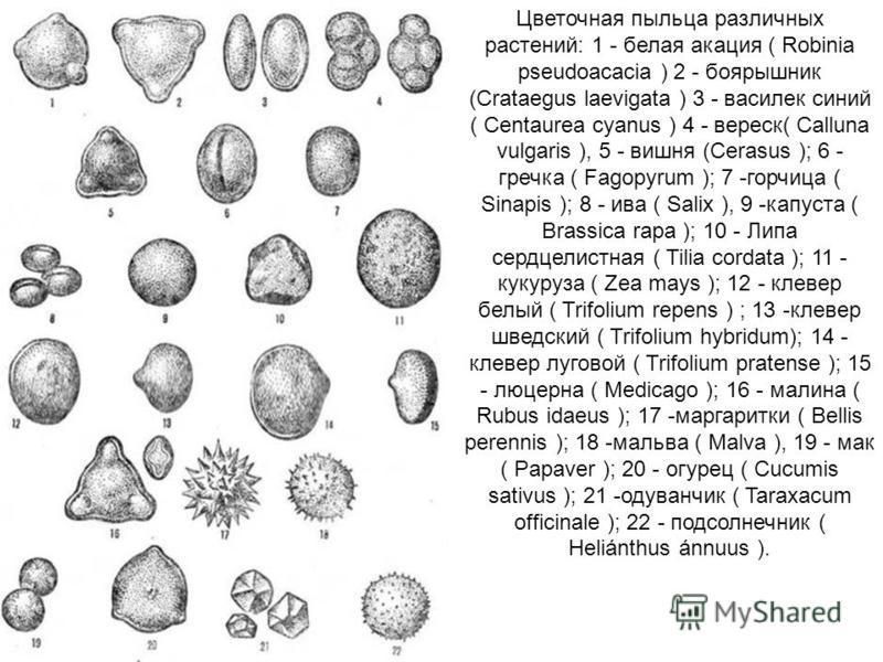 Цветочная пыльца различных растений: 1 - белая окация ( Robinia pseudoacacia ) 2 - боярышник (Crataegus laevigata ) 3 - василек синий ( Centaurea cyanus ) 4 - вереск( Calluna vulgaris ), 5 - вишня (Cerasus ); 6 - гречка ( Fagopyrum ); 7 -горчица ( Si