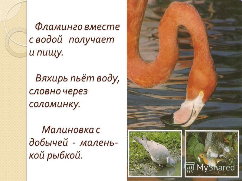 Фламинго вместе с водой получает и пищу. Вяхирь пьёт воду, словно через соломинку. Малиновка с добычей - маленькой рыбкой. Фламинго вместе с водой получает и пищу. Вяхирь пьёт воду, словно через соломинку. Малиновка с добычей - маленькой рыбкой.
