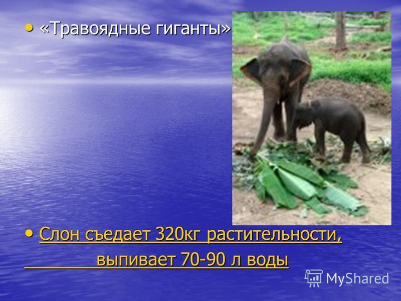 «Травоядные гиганты» «Травоядные гиганты» Слон съедает 320 кг растительности, Слон съедает 320 кг растительности, Слон съедает 320 кг растительности, Слон съедает 320 кг растительности, выпивает 70-90 л воды выпивает 70-90 л воды
