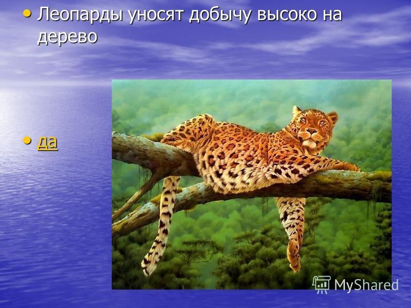 Леопарды уносят добычу высоко на дерево Леопарды уносят добычу высоко на дерево да да да
