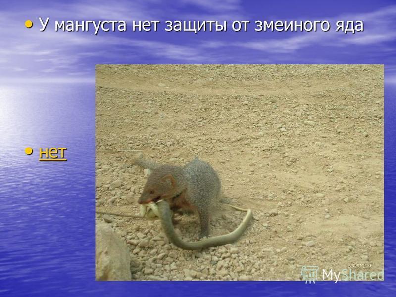 У мангуста нет защиты от змеиного яда У мангуста нет защиты от змеиного яда нет нет нет