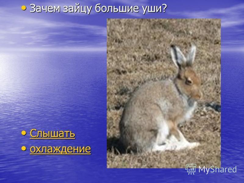 Зачем зайцу большие уши? Зачем зайцу большие уши? Слышать Слышать Слышать охлаждение охлаждение охлаждение