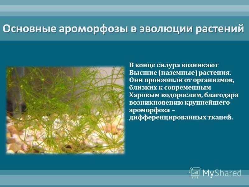 Основные ароморфозы в эволюции растений В конце силура возникают Высшие ( наземные ) растения. Они произошли от организмов, близких к современным Харовым водорослям, благодаря возникновению крупнейшего ароморфоза – дифференцированных тканей.