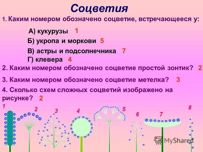 1 2 34 5 67 8 Соцветия 1. Каким номером обозначено соцветие, встречающееся у: А) кукурузы Б) укропа и моркови В) астры и подсолнечника Г) клевера 2. Каким номером обозначено соцветие простой зонтик? 3. Каким номером обозначено соцветие метелка? 4. Ск