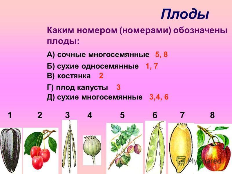 Плоды 1 2 3 4 5 6 7 8 Каким номером (номерами) обозначены плоды: А) сочные многосемянные Б) сухие односемянные В) костянка Г) плод капусты Д) сухие многосемянные 5, 8 1, 7 2 3 3,4, 6