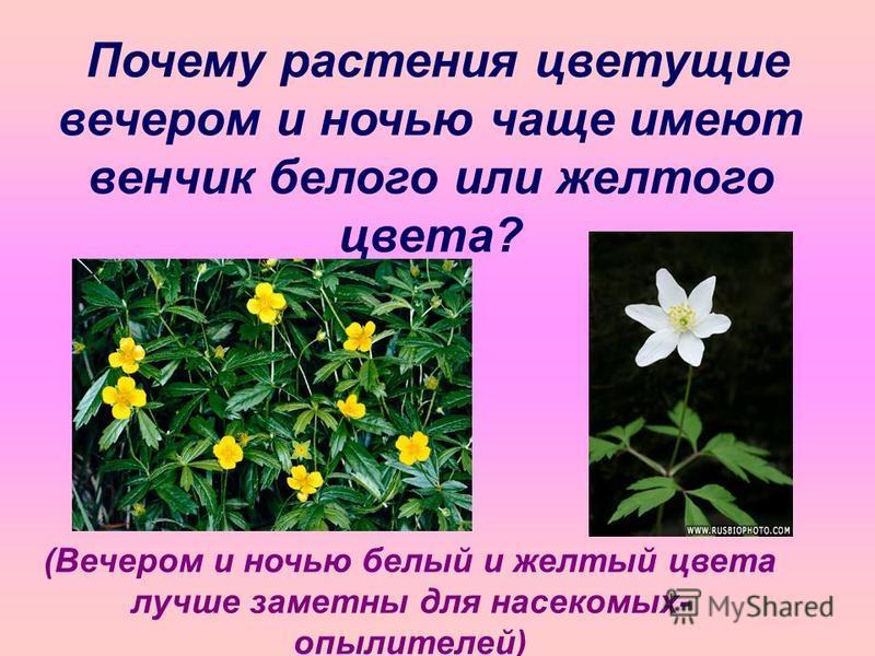 Почему растения цветущие вечером и ночью чаще имеют венчик белого или желтого цвета? (Вечером и ночью белый и желтый цвета лучше заметны для насекомых- опылителей)