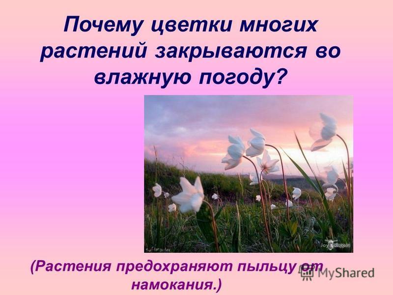 Почему цветки многих растений закрываются во влажную погоду? (Растения предохраняют пыльцу от намокания.)