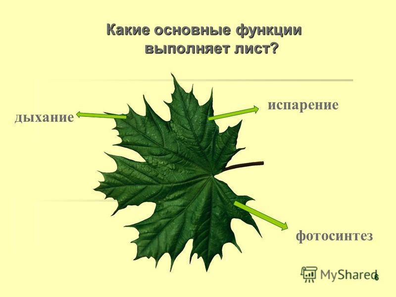 Какие основные функции выполняет лист? испарение фотосинтез дыхание 6