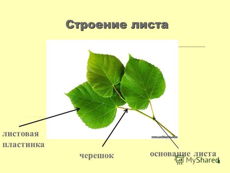 Строение листа листовая пластинка черешок основание листа 8