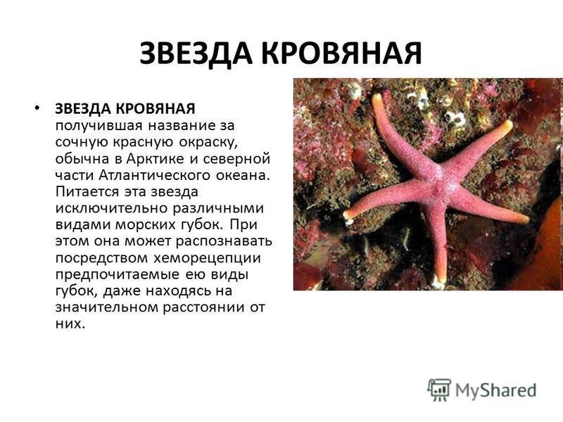 ЗВЕЗДА КРОВЯНАЯ ЗВЕЗДА КРОВЯНАЯ получившая название за сочную красную окраску, обычна в Арктике и северной части Атлантического океана. Питается эта звезда исключительно различными видами морских губок. При этом она может распознавать посредством хем