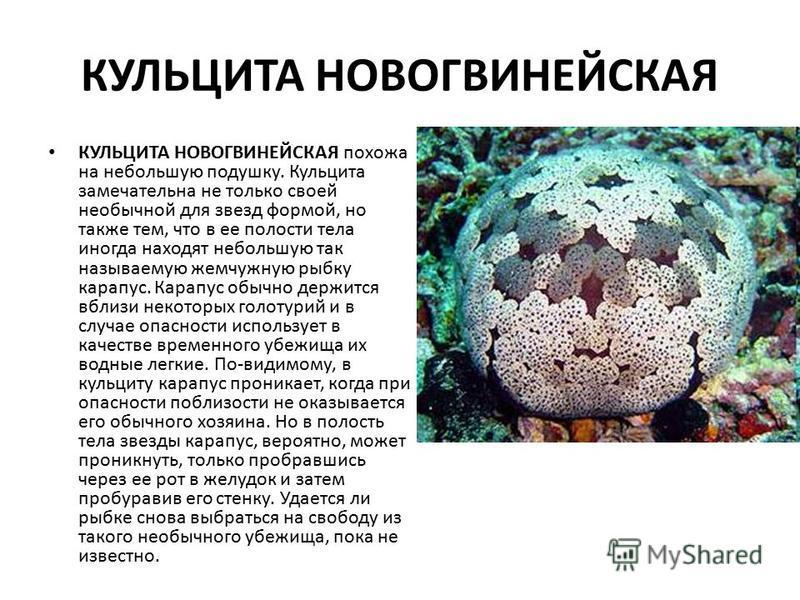 КУЛЬЦИТА НОВОГВИНЕЙСКАЯ КУЛЬЦИТА НОВОГВИНЕЙСКАЯ похожа на небольшую подушку. Кульцита замечательна не только своей необычной для звезд формой, но также тем, что в ее полости тела иногда находят небольшую так называемую жемчужную рыбку карапус. Карапу