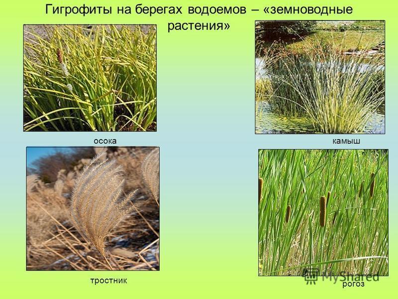 Гигрофиты на берегах водоемов – «земноводные растения» осока тростник камыш рогоз