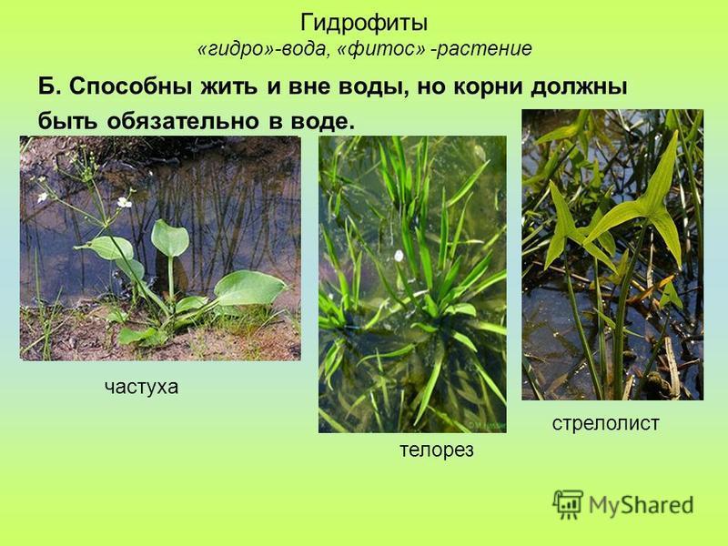 Гидрофиты «гидро»-вода, «фитос» -растение Б. Способны жить и вне воды, но корни должны быть обязательно в воде. стрелолист частуха телорез