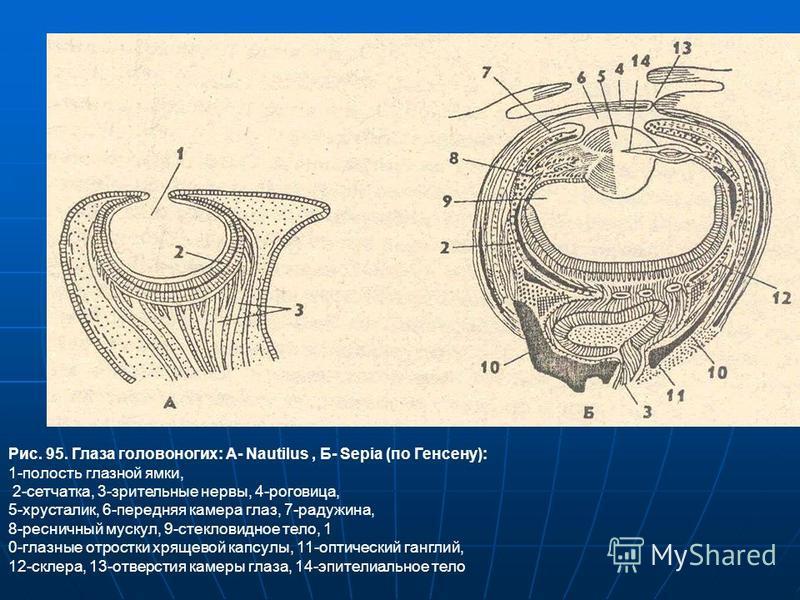 Рис. 95. Глаза головоногих: А- Nautilus, Б- Sepia (по Генсену): 1-полость глазной ямки, 2-сетчатка, 3-зрительные нервы, 4-роговица, 5-хрусталик, 6-передняя камера глаз, 7-радужина, 8-ресничный мускул, 9-стекловидное тело, 1 0-глазные отростки хрящево