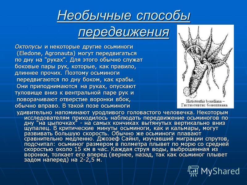 Необычные способы передвижения Октопусы и некоторые другие осьминоги (Eledone, Agronauta) могут передвигаться (Eledone, Agronauta) могут передвигаться по дну на