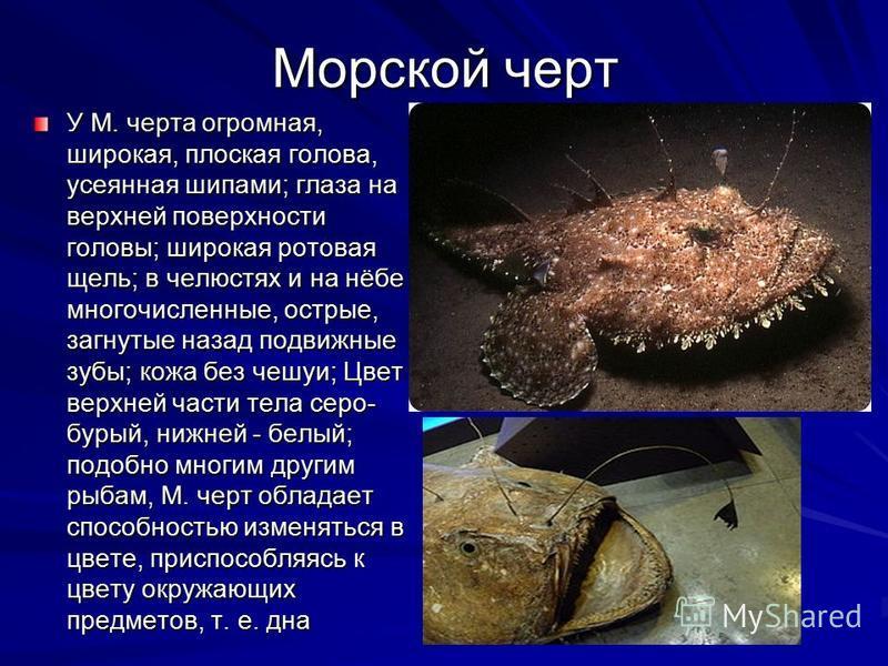 Морской черт У М. черта огромная, широкая, плоская голова, усеянная шипами; глаза на верхней поверхности головы; широкая ротовая щель; в челюстях и на нёбе многочисленные, острые, загнутые назад подвижные зубы; кожа без чешуи; Цвет верхней части тела