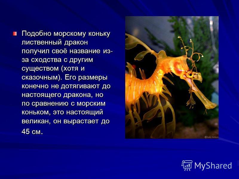 Подобно морскому коньку лиственный дракон получил своё название из- за сходства с другим существом (хотя и сказочным). Его размеры конечно не дотягивают до настоящего дракона, но по сравнению с морским коньком, это настоящий великан, он вырастает до