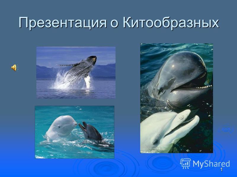 Презентация о Китообразных 1