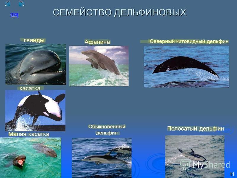 СЕМЕЙСТВО ДЕЛЬФИНОВЫХ Обыкновенный дельфин касатка ГРИНДЫ Северный китовидный дельфин Малая касатка Полосатый дельфин Афалина 11