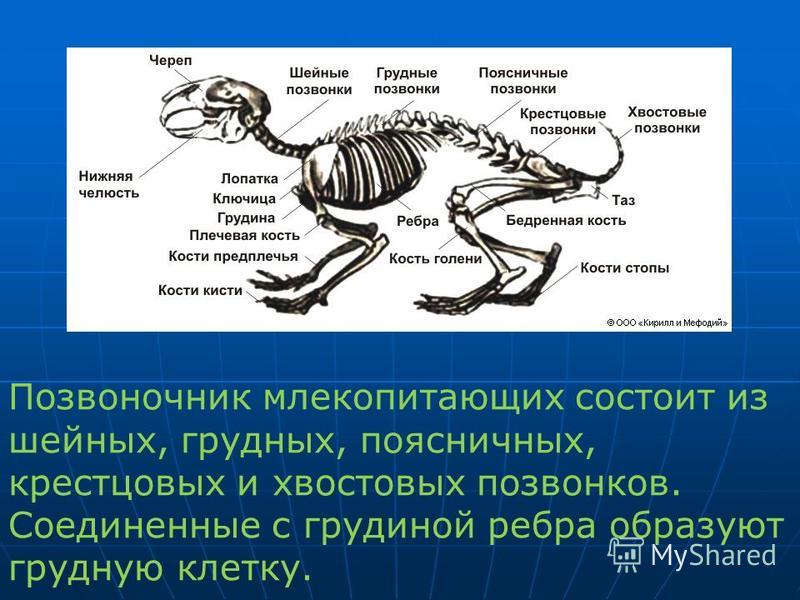Позвоночник млекопитающих состоит из шейных, грудных, поясничных, крестцовых и хвостовых позвонков. Соединенные с грудиной ребра образуют грудную клетку.