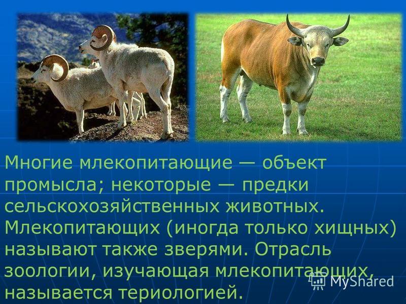 Многие млекопитающие объект промысла; некоторые предки сельскохозяйственных животных. Млекопитающих (иногда только хищных) называют также зверями. Отрасль зоологии, изучающая млекопитающих, называется териологией.