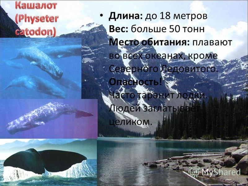 Длина: до 18 метров Вес: больше 50 тонн Место обитания: плавают во всех океанах, кроме Северного Ледовитого. Опасность! Часто таранит лодки. Людей заглатывает целиком.