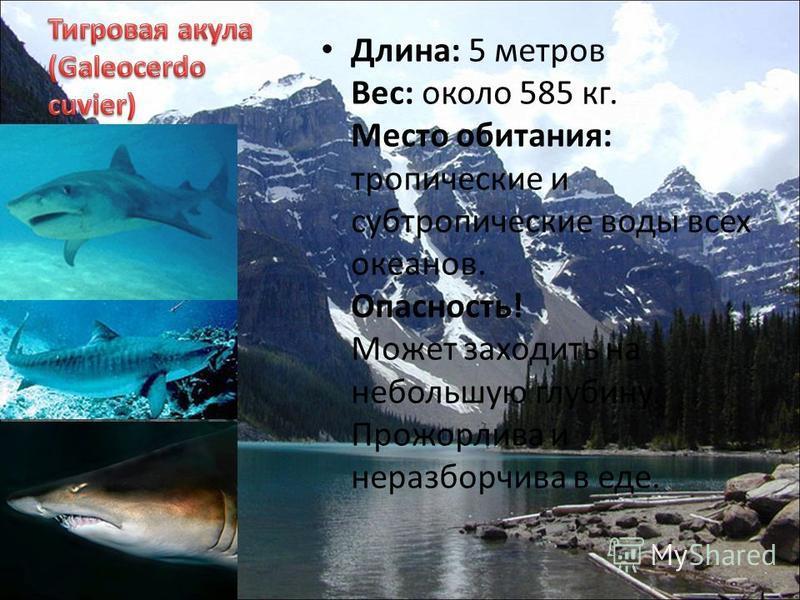 Длина: 5 метров Вес: около 585 кг. Место обитания: тропические и субтропические воды всех океанов. Опасность! Может заходить на небольшую глубину. Прожорлива и неразборчива в еде.