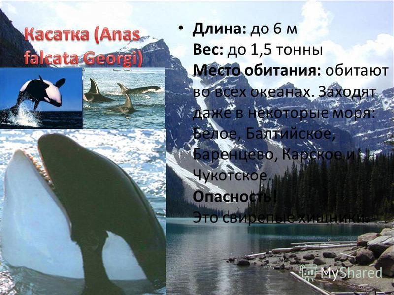 Длина: до 6 м Вес: до 1,5 тонны Место обитания: обитают во всех океанах. Заходят даже в некоторые моря: Белое, Балтийское, Баренцево, Карское и Чукотское. Опасность! Это свирепые хищники.