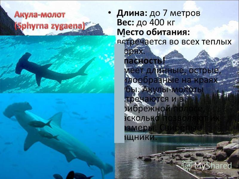 Длина: до 7 метров Вес: до 400 кг Место обитания: встречается во всех теплых морях. Опасность! Имеет длинные, острые, пилообразные на краях зубы. Акулы-молоты встречаются и в прибрежной полосе, насколько позволяют их размеры. Свирепые хищники.