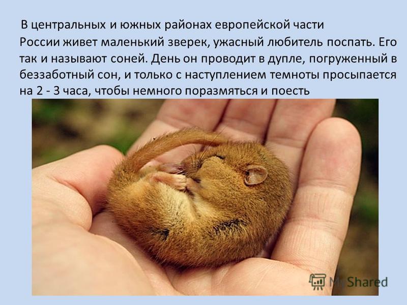 В центральных и южных районах европейской части России живет маленький зверек, ужасный любитель поспать. Его так и называют соней. День он проводит в дупле, погруженный в беззаботный сон, и только с наступлением темноты просыпается на 2 - 3 часа, что