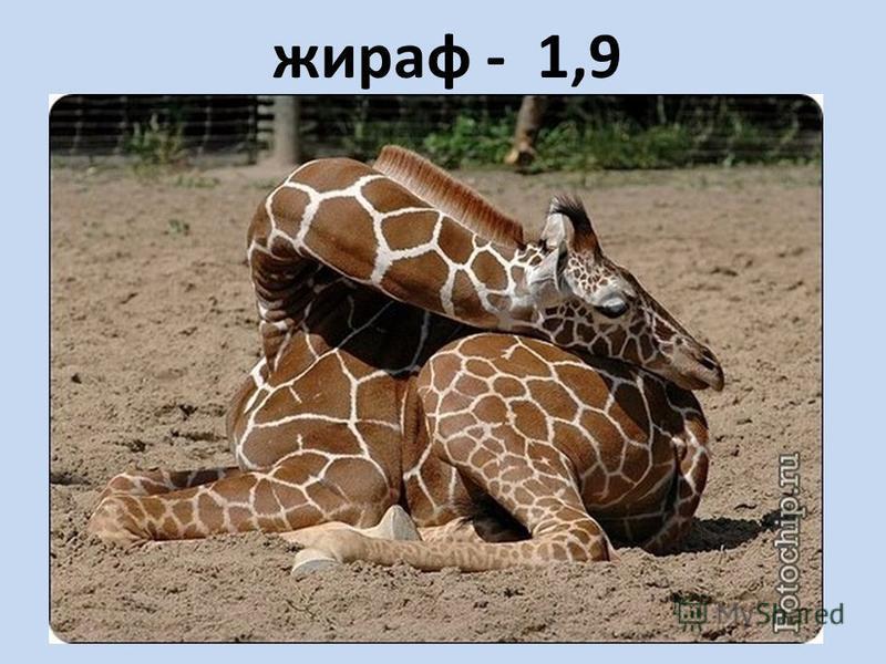 жираф - 1,9