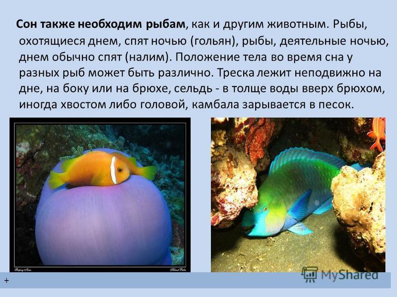 Сон также необходим рыбам, как и другим животным. Рыбы, охотящиеся днем, спят ночью (гольян), рыбы, деятельные ночью, днем обычно спят (налим). Положение тела во время сна у разных рыб может быть различно. Треска лежит неподвижно на дне, на боку или