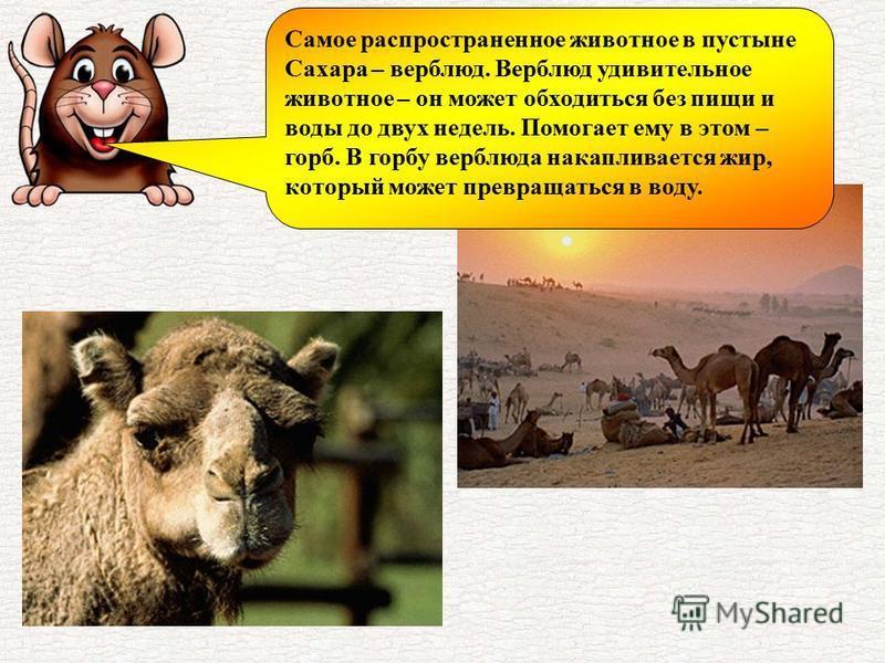 Самое распространенное животное в пустыне Сахара – верблюд. Верблюд удивительное животное – он может обходиться без пищи и воды до двух недель. Помогает ему в этом – горб. В горбу верблюда накапливается жир, который может превращаться в воду.