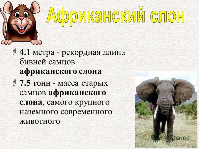4.1 метра - рекордная длина бивней самцов африканского слона 7.5 тонн - масса старых самцов африканского слона, самого крупного наземного современного животного