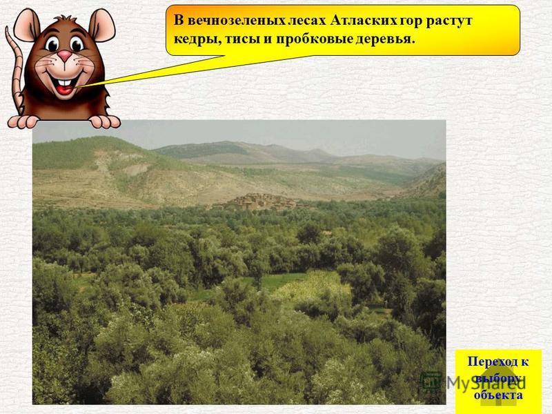 В вечнозеленых лесах Атласких гор растут кедры, тисы и пробковые деревья. Переход к выбору объекта