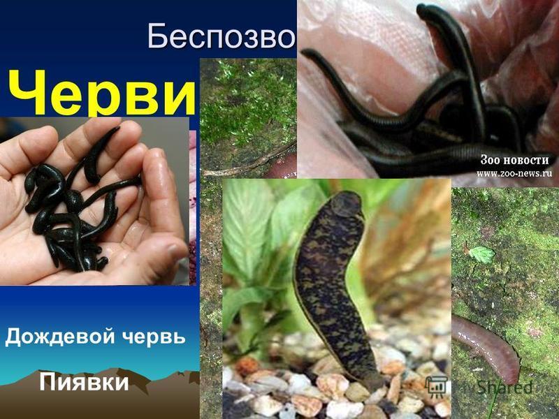Беспозвоночные Черви Дождевой червь Пиявки