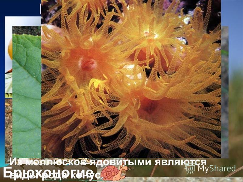 Беспозвоночные Мягкое тело, которое у многих из них защищено раковиной. Моллюски Брюхоногие Из моллюсков ядовитыми являются виды рода конус.