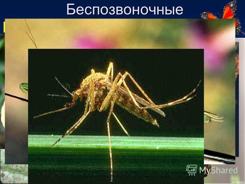 Беспозвоночные Имеют шесть ног Насекомые Известно около 1 млн видов насекомых. Обладают наибольшим разнообразием среди всех остальных животных на Земле; включают, например, бабочек, жуков, мух, муравьёв, пчёл и других.видов бабочекжуковмухмуравьёв пч