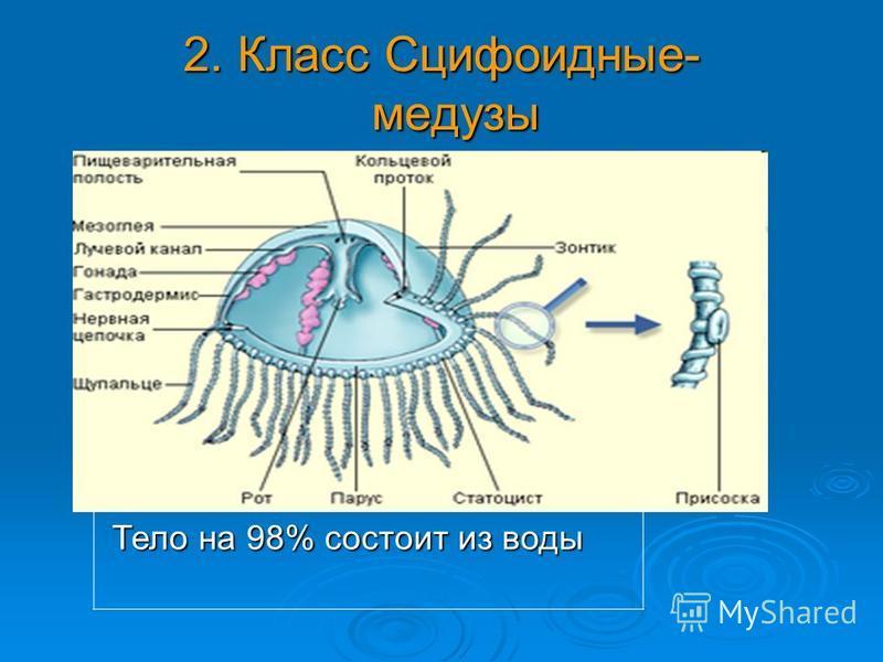 2. Класс Сцифоидные- медузы Тело на 98% состоит из воды Тело на 98% состоит из воды